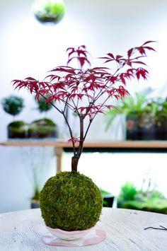 Acer palmatum kokedama – quite amazing! Moss Garden, Bonsai Garden, Garden Pots, Indoor Water Garden, Indoor Plants, Red Maple Bonsai, Chicken Garden, Mini Bonsai, Deco Nature