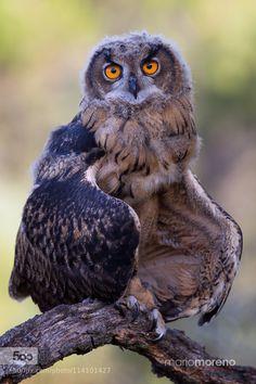 Owl Pose by mariomoreno