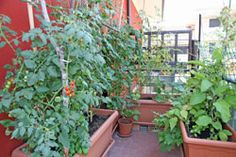 Planting vegetables on the balcony - 9 types of vegetables presented for beginners . - Planting Vegetables on the Balcony – 9 Vegetables Presented for Beginners Planting Vegetables on - Growing Vegetables In Containers, Types Of Vegetables, Container Gardening Vegetables, Planting Vegetables, Vegetable Gardening, Rooftop Garden, Balcony Garden, Garden Planters, Small Space Gardening