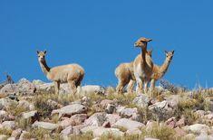 Fauna autóctona de la Quebrada de Humahuaca, La Quebrada de Humahuaca se situa al noroeste de la provincia de Jujuy,/ Argentina