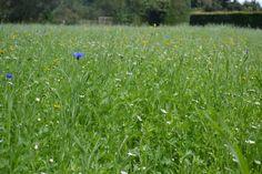 Wildflower Meadow Norfolk