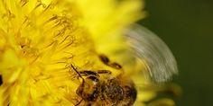 #Bijen #pollen het #geneesmiddel voor #hooikoorts, #Bee #pollen is the #medicine for #hay #fever, translate button present