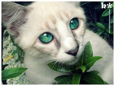 Name: Lilacpetal.  Rank: Medicine Cat Clan: Mystic Clan Bio: A long tailed peaceful feline with the courage and determination of a warrior.