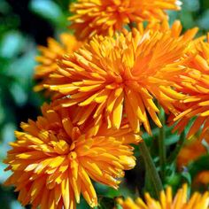"""Edible, bug repellent Calendula are easy to grow and make a bright addition to any garden. A beautiful selection of the old """"Radio"""" variety; this one has beautiful quilled petals, bright orange in col"""
