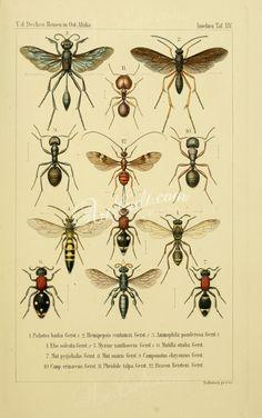 023-agonum, chlaenius, anchomenus, dicaelus, oodes, licinus, badister      ...