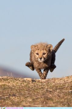 the need for speed starts early when you're an adorable cheetah cub