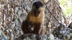 Monkeys' creation of stone tools forces scientists to rethink doctrine of human evolution