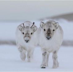 Baby Reindeers - that is just ridiculously cute and they are so fluffy and fat looking! I love it!