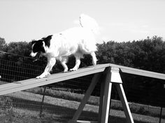 Silver doing the dogwalk Border Collie Mix, Dog Agility, Cattle, Goats, Silver, Animals, Gado Gado, Animales, Animaux