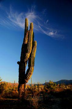 Giant Cactus, Bahia de Los Angeles, Baja California, #México