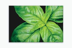 "Ready-to-hang wrapped canvas print of basil leaves, rustic kitchen wall art basil print on canvas, sizes 5x7 to 30x40. Title: Basil Leaves Canvas prints are professionally-stretched onto a 1.25"" woode"