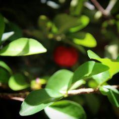 Acerola