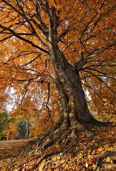 Autumninal tree.
