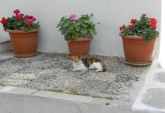 Cat taking a nap beside some flowers' vases. Mykonos, Greece, spring of 2013. #mykonos #ciclades #kiklades