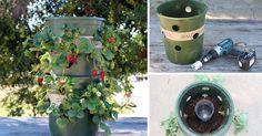 Návod jak pěstovat jahody v patrovém zavlažovacím květináči