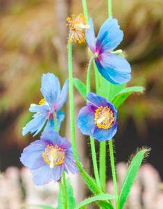 Réputé difficile à cultiver, le pavot bleu ne réclame qu'une terre toujours fraîche et non calcaire, à la mi-ombre. #pavot #pavotbleu #himalaya #poppy #bleupoppy #plantation #jardin #jardinage #garden #gardentips