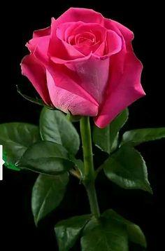 Из камней, упавших с души, получится хорошая дорога к счастью.. Rose Flower Pictures, Love Rose Flower, Beautiful Flowers Pictures, Beautiful Rose Flowers, Flower Images, Exotic Flowers, Amazing Flowers, Love Flowers, Rose Flower Wallpaper