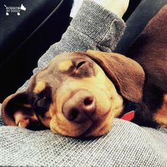 Today was made for sleeping :) #DoggyMember Schnitzel