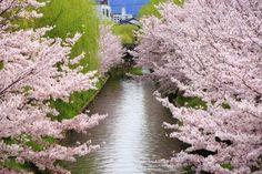 cherry blossoms Ujigawa-haryu River Kyoto