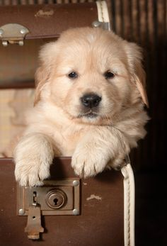 dog breeds Golden Retriever puppy - It's National Puppy Day, so here are the cutest puppy GIFs for every situation in which you find yourself. Labrador Retriever Dog, Dogs Golden Retriever, Golden Retrievers, Cute Puppies, Cute Dogs, Dogs And Puppies, Doggies, Animals Beautiful, Cute Animals