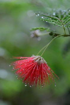 ~~Calliandra eriophylla by myu-myu~~ or, Mimosa tree bloom . Splash Photography, Color Photography, Macro Photography, Black And White Photography, People Photography, Photography Poses, Landscape Photography, Travel Photography, Color Splash