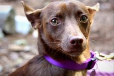 Meet Mark, a 2-year-old Short Coat Chihuahua mix who is ready to go home with you and be your best friend! Like some people, this little mister is a little bit shy at first, but as soon as he figures out you're cool, it's all love love LOVE. He is very sweet, a good walker, and also very skilled at snuggling while watching Netflix or the like. Mark was ADOPTED! from Seattle Humane, July 2016