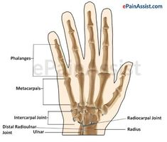 Wrist Joint or Radiocarpal Joint