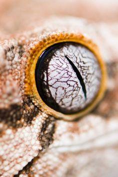 Gargoyle #Gecko #eye #reptile