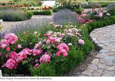 róże w ogrodzie aranżacje lawenda