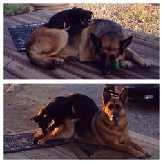 German Shepards.  He's bigger, but she is still patient with him!