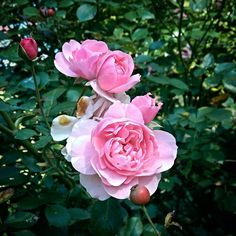 Nothing soothes my soul like #nature #outdoors #pink #rose #flower #plants