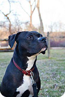 Dayton, OH - Boxer/Pit Bull Terrier Mix. Meet Cole **COURTESY POST**, a dog for adoption. http://www.adoptapet.com/pet/14655438-dayton-ohio-boxer-mix
