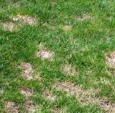 Dollar spot is a fungal disease that attacks lawns leaving patches of dead grass in random patterns. It can be successfully  treated with anti-fungal sprays. Here's an effective organic option that's OMRI listed. https://spray-n-growgardening.com/plant-health/actinovate-2-oz-pack.html