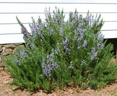 rosemary plant - Google Search