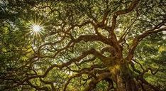Image result for angel oak tree