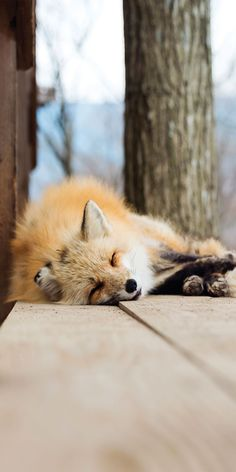 sleeping red fox, zao fox village, japan   animal + wildlife photography