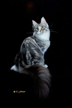 Kiyaras Hancock--Second Best Cat and Best Maine Coon in TICA--2011-2012