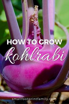 """The name kohlrabi comes from the German """"kohl,"""" meaning cabbage, and """"rabi,"""" meaning turnip—and that kind of says it all about this delicious, easy-to-grow vegetable. Here's how to grow and enjoy it."""