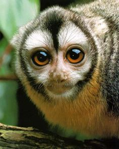 Night Monkey or Owl Monkey
