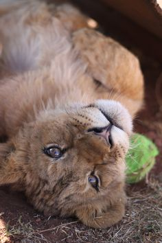We've gathered our favorite ideas for 2410 Best Lion Tigers And Mountain Lions Puma Cougar, Explore our list of popular images of 2410 Best Lion Tigers And Mountain Lions Puma Cougar. Big Cats, Cats And Kittens, Cute Cats, Beautiful Cats, Animals Beautiful, Cute Baby Animals, Animals And Pets, Wild Animals, Mon Zoo