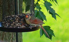 54 Days till Spring - Female Cardinal on my Bird Feeder - News - Bubblews
