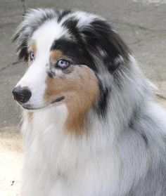 All Australian Shepherds, All the Time American Shepherd, Aussie Shepherd, Australian Shepherd Dogs, Blue Merle, I Love Dogs, Cute Dogs, Aussie Dogs, Herding Dogs, Dog Activities