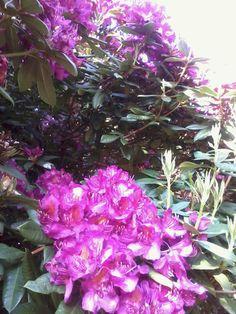 (*) Twitter Beautiful Flowers, Gardens, Canada, Victoria, Twitter, Plants, Outdoor Gardens, Plant, Garden