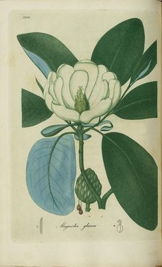 magnolia botany illustration