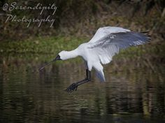 Spoonbill 5 Serendipity, Photography, Animals, Animales, Animaux, Photograph, Fotografie, Animal, Fotografia