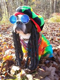 Nancy: My Boston Terrier Pablo is sporting the perfect Bob Marley style Tie dyed shirt, Rasta hat with added dreads of course and bling to top it off.