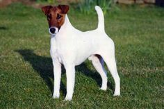 Smooth Fox Terrier Puppies For Sale & Puppy Breed Info