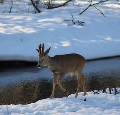 Foto söndag! #jakt #jägare #canon #rådjur #råbock #swe_hunters #nordichunter #hunt #natur by 99procentjakt