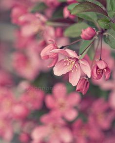 pink flower photography, spring, cherry blossom, nature photography, botanical p. Nature Photography Flowers, Spring Photography, Flowers Nature, Pink Flowers, Beautiful Flowers, Small Flowers, Tropical Flowers, Pastel Photography, Pink Nature