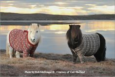 Shetland ponies wearing Scotland Collection Fair Isle sweaters commissioned for Visit Shetland promotion in 2014.